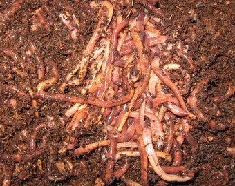 Red Wiggler Worms