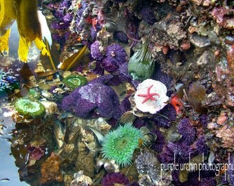 "Starfish Photography, Sea Star, Tide Pool, Ocean Decor, Nature Print, Anemone, Sea Urchin, Sea Life, Home Decor, ""Tide Pool Exposure"""