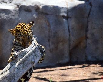 Clinging Jaguar