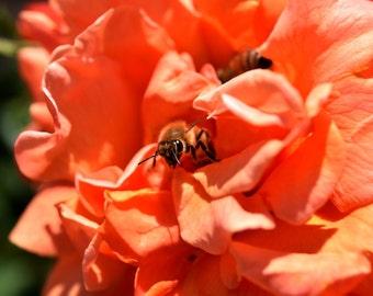 O10 - Bee in Orange Rose 3