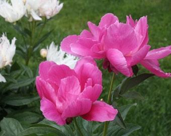 Twin Peonies, Flowers, Pink, Original Photograph, Nature, Handmade
