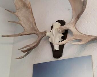 Antlers on metal skull