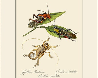 Gryllus Monstrsus, India Insect, Edward Donovan, Art Print with Mat, Natural History Illustration, Wall Art, Wall Decor, Vintage Print