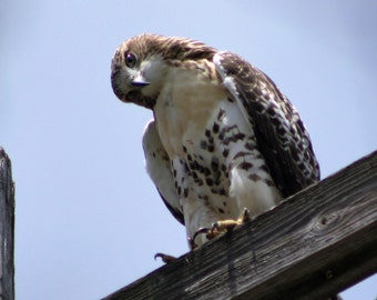 Curious Red-tailed Hawk