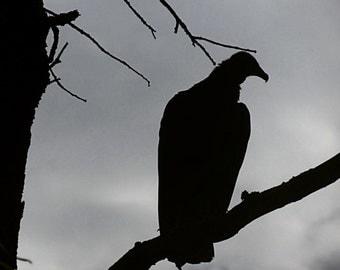 Evening Vulture