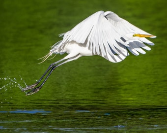 Digital Download: Great Egret takes off photo