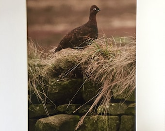 Red Grouse - Photographic Print