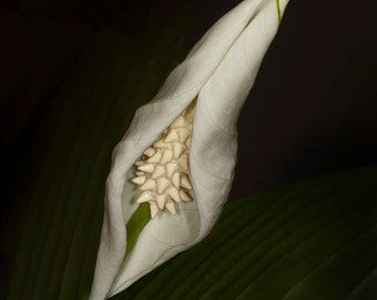 Grand Opening, peace lily,flower,photo art,photo,color,Home Decor,Home Decor Office,wall picture,Gift,Vertical