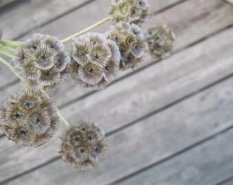 SCABIOSA  DRIED FLOWER Bunches  Pincushion Flower