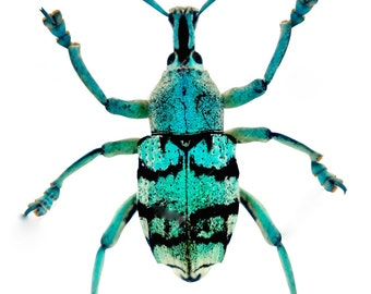 Real Turquoise Weevil Beetle, Eupholus chevrolati