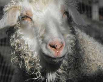 Pygora fiber cloud for spinning, spin your own handspun Pygora goat
