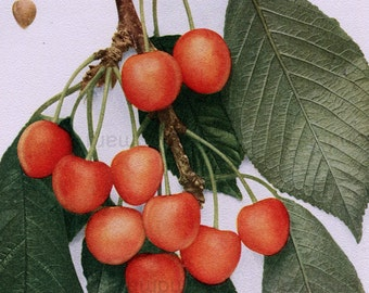 Antique Fruit Print  Kirtland Cherries  Pit Fruit Leaves Dr Kirtland Cleveland Ohio Chromolithograph Botanical