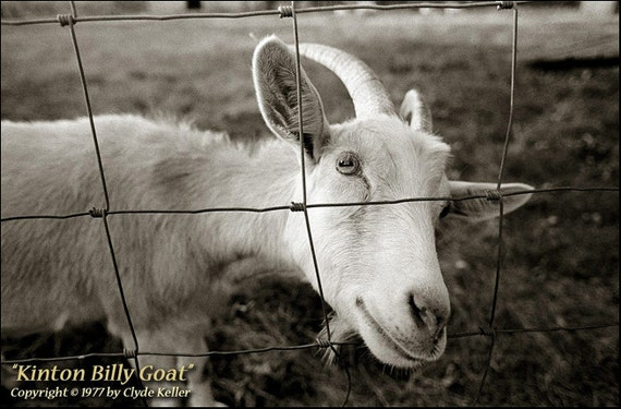 IRRESISTIBLE BILLY GOAT, Clyde Keller Photo, Fine Art Print, Black and White, Signed, vintage 1977 image