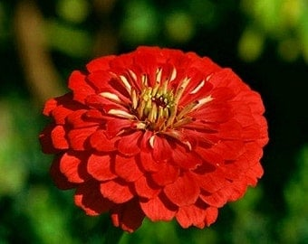 Organic Heirloom Cherry Queen Zinnia Annual or Wildflower Seeds