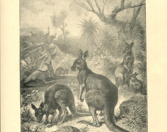 Antique Victorian Engraving Print of Kangaroo 1880s