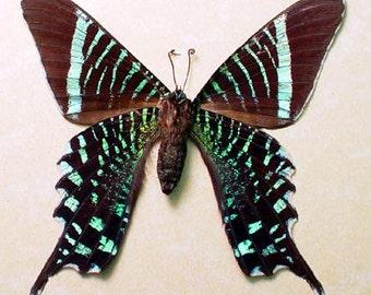 Real Rare Urania Fulgens Verso The Urania Swallowtail Framed Moth 2547V