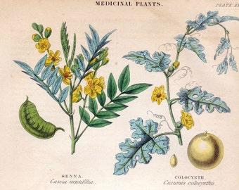 Antique Botanical Print of Medicinal Plants - Senna - Colocynth - Jalap - Castor Oil - 1870 Vintage Print - Hand Coloured - Plate 34