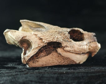 Snapping Turtle skull resin replica