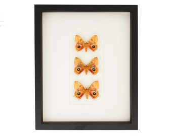 Framed Moth Collection Io False Eye Insect