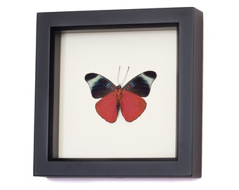 Real Framed Butterfly Display Panacea prola species
