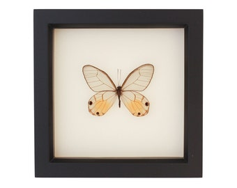 Real Butterfly Display Phantom Glasswing