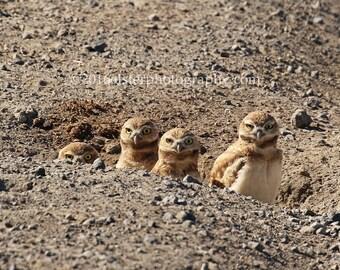 burrowing owl, owl, cute, raptors, wildlife, photography, oregon, little owls, owl art, owl prints, adorable animals, birding, owls watching