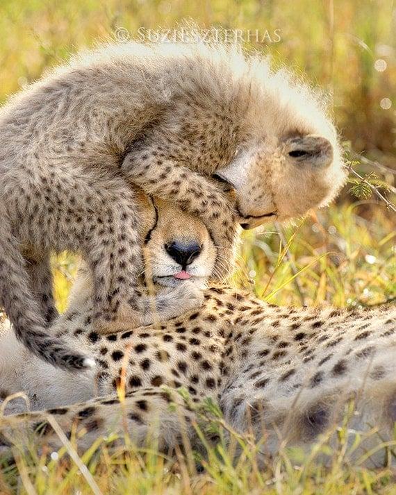 Baby Animal Photography, BABY CHEETAH PLAYING With Mom Photo Print, Wildlife Photography, Wall Decor, Safari Baby Nursery Art, African, Cub