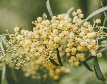 Nature Photography, Flower Photography, Mimosa Tree, Landscape Photo, Yellow Art Print, Cottage Decor - Nostalgic Afternoon