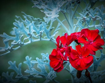 Bright Red Flower Blossom against a Background of Light Blue Leaves No.3341 A Fine Art Botanical Photograph