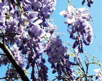 Fine Art Photography on Gloss Photo Paper Wisteria Sky