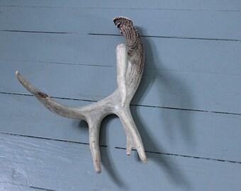 Cabin Fever... Vintage Deer Antlers Five Point, Taxidermy, Deer Horns