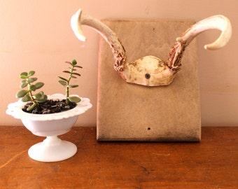 Cabin Fever...Vintage Four Point Mounted Deer Antlers, Taxidermy, Deer Horns