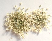 1 Pack (24 flowers)  Dying  Pressed Real Dry  Queen Anne's Lace Dry Flower