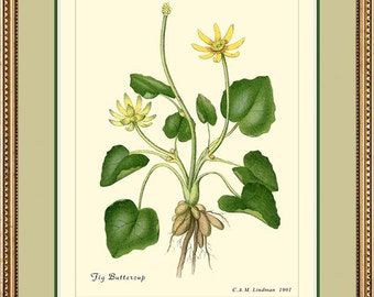 FIG BUTTERCUP - Vintage Botanical print reproduction 162