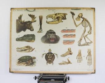 Vintage School Chart, Animals in Borneo