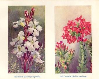 Botanical Wild Flower Print 1935 Flower artwork red plants print Cottage Decor Wildflowers Vintage Botanical Print 1930s