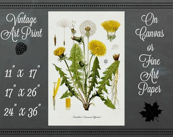 Dandelion Botanical Print / Canvas or Fine Art Paper / Vintage Art