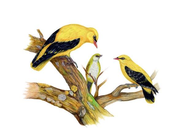 Golden Orioles, LIMITED EDITION, Eurasian Golden Oriole, Oriolus oriolus, Yellow Bird, Bright Cadmium Yellow Bird, Bird Art, Bird Print, Art