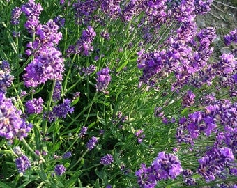 English Lavender, Lavandula angustifolia, Live Plant, English Lavender Plant in  4 Inch Pot Great for Dried Flowers