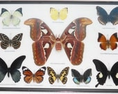 REAL 11 BEAUTIFUL BUTTERFLIES Moth Collection in frame/B10M