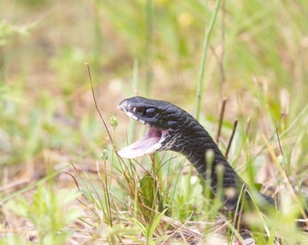 Snake Photograph - Nature Photography - 'Black Racer Snake' - Animal Wall art - green and black wildlife print