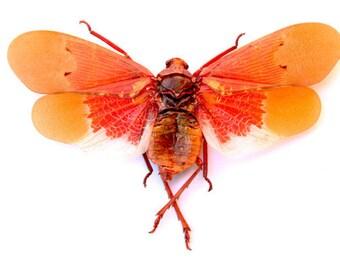 3 Scamandra Sanguiflua (Orange Sunburst Lanternfly) A1