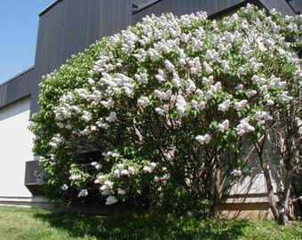 Common Lilac Tree Seeds, Syringa vulgaris - 25 Seeds