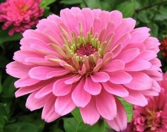 Heirloom Luminosa Pink Zinnia Flower, Garden Seeds, Attract Butterflies, 20 Seeds
