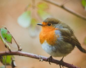 Robin - Winter photography, bird, christmas, autumn, nature, wildlife, animal photography MADE TO ORDER