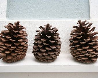 Three Extra Large Pine Cones Hand Collected from Oregon
