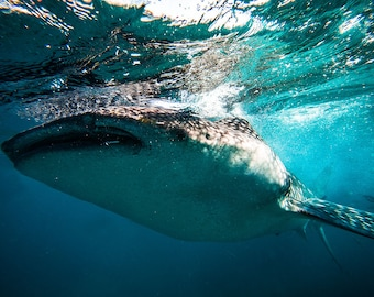 Whale Shark Swimming in the Deep Blue Sea - Whale Shark Photo - Underwater Photography - Large Wall Art - Blue wall decor