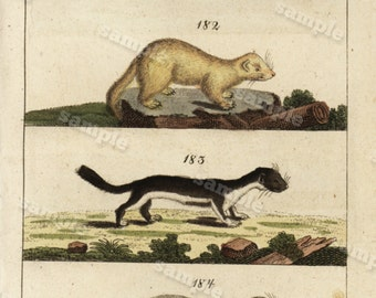 1817 Antique Original Hand colored Engraving  Of Animals -  Natural history- Ferrets Tobias Wilhelm Over 200+ Years old