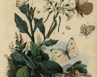1836 Antique Original  Natural History Hand Colored Engraving - Insects Butterflies  from  Guerin Dictionary