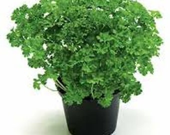 PARSLEY HERB SEEDS 100 Fresh seed ready to plant in your garden or pots